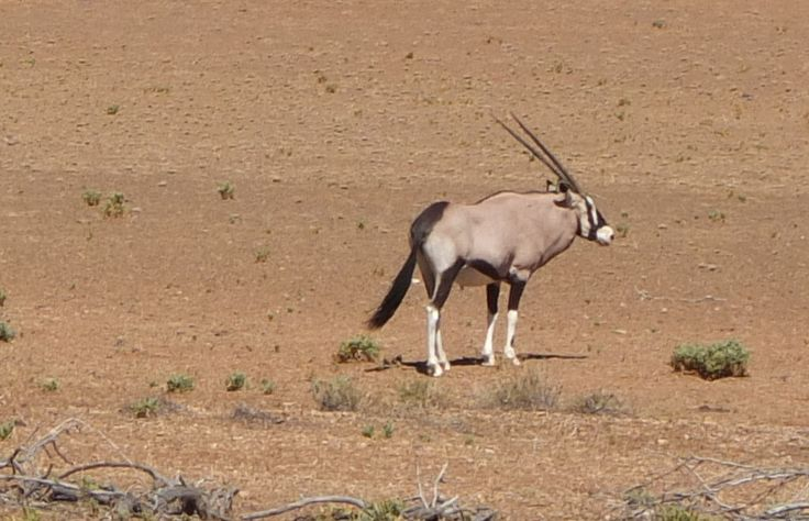 Gemsbok in Tankwa Karoo National Park, South Africa | One Footprint On The World