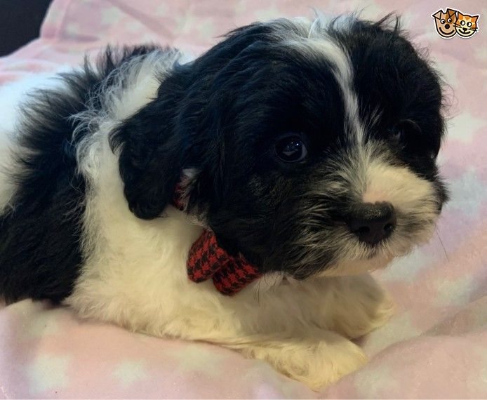 Shihpoo Puppies Shih Poo Puppies Pets