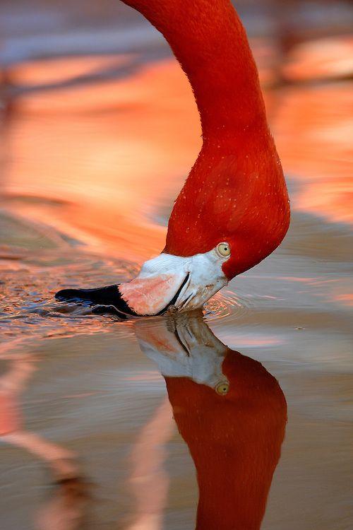 Flamingo   Xavier Ortega