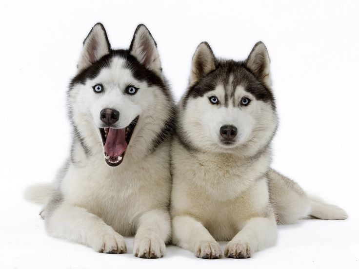 Siberian Husky. They are members of the working group. They are great sled dogs. They stand at 20-23 1/2 inches at the shoulder and weigh about 35-60 pounds. Winner: 1980.