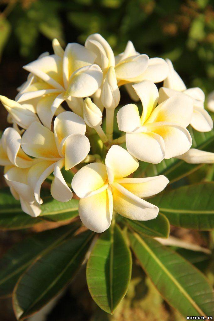 Бонсай Плюмерия из тайской глины, мастер класс - Цветы из полимерной глины…
