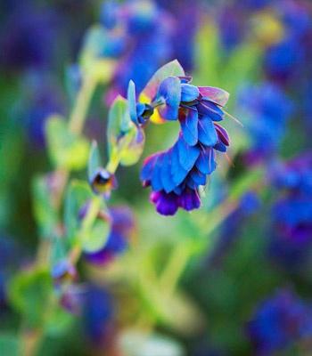 iridescent shrimp plant. Photograph Simon Griffith. Australian House  Garden