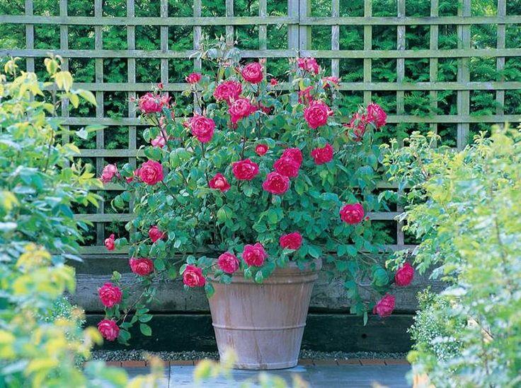 Rose in vaso come piantare Piantare rose, Coltivare rose