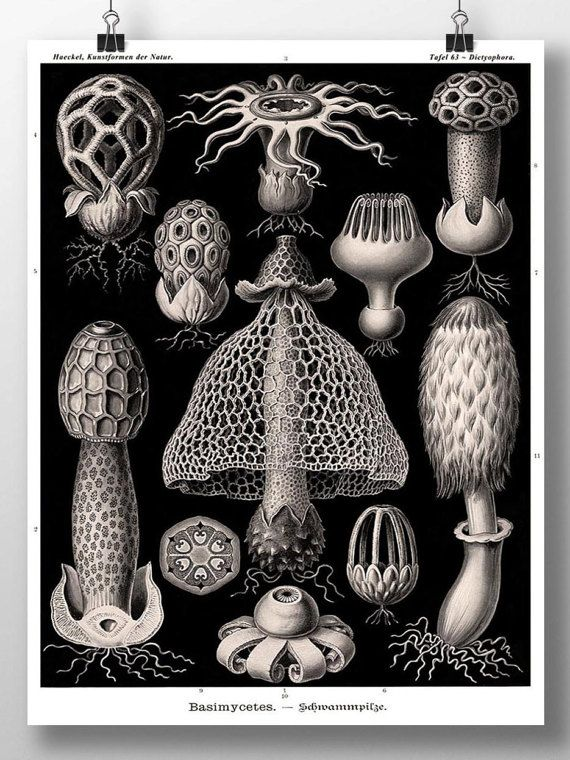 Impression de champignons, Artwork Champignon, Affiche, Ernst Haeckel Botanical Illustration, Fungi Basimycetes/Stinkhorn Mushrooms Wall Artwork, Botanical Artwork