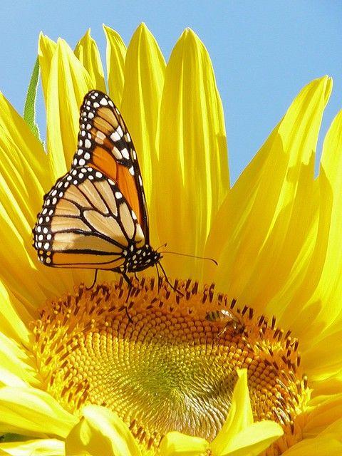 Sunflower & Butterfly - Nice Photo