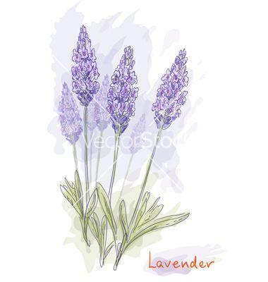 Lavender flowers vector 699437 - by splinex on VectorStock®