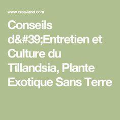 Conseils d'Entretien et Culture du Tillandsia, Plante Exotique Sans Terre