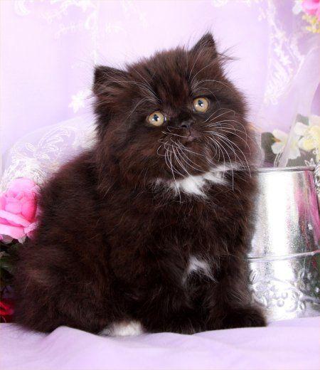 Black & White Toy Persian Kitten