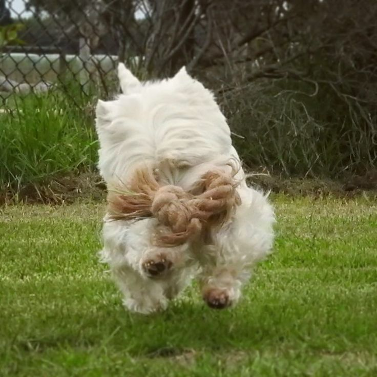 Hi fwends!  Yoo shud always luk where yoo wunnin!  UNLESS yoo got wope toy! . . Happy Fursday fwends! Hope yoo haffin a soopa day! . . #rope #ropetoy #actionshot #westie #westiegram #westielove #westhighlandwhiteterrier #cane #perra #blanco #viernes #venerdì #thursdaythoughts #sendadogphoto #adventurewithdogs #terrier #aussiedog #aussiesofinstagram #dogscorner #dogoftheday #barkbox #puppytales #pupshow #собака #lacyandpaws #feature_do2 #dogs_of_world by bbgirrrldog