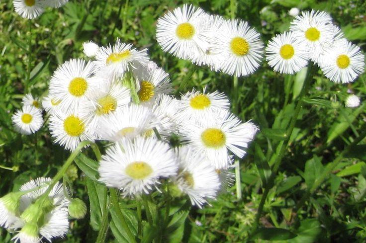 Eastern Daisy Fleabane (Erigeron annuus) http://amberastrophil.blogspot.com/2015/04/eastern-daisy-fleabane-erigeron-annuus.html