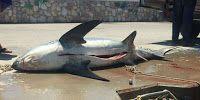 Πιερία: Καρχαρίες στο Αιγαίο. Ανησυχία για τους λουόμενους...
