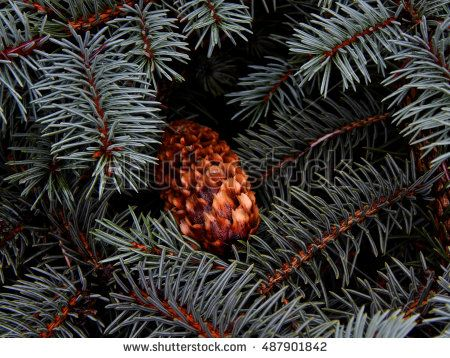 Wet pine cone on fir branch close-up