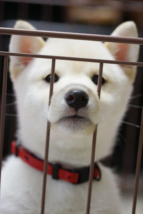 Puppy: Japanese Dog Shiba Inu|??