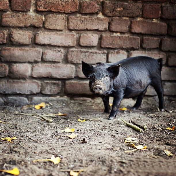 10 Best Images About PIGS On Pinterest