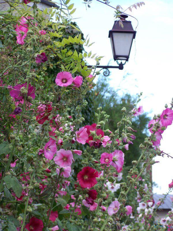 Les 18 meilleures images du tableau rose tr mi re sur - Rose tremiere en pot ...