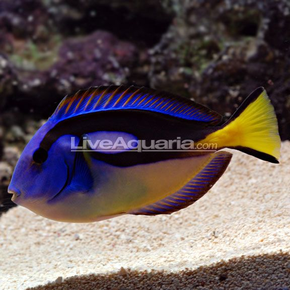 Yellow Belly Regal Blue Tang Saltwater Aquarium Fish For Marine Aquariums Saltwater Aquarium Saltwater Aquarium Fish Best Aquarium Fish