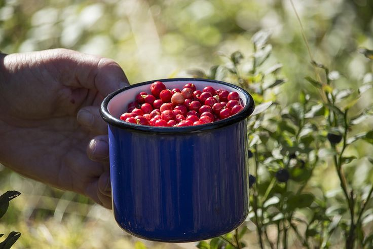 Ravanti Events, Lingonberries | by visitsouthcoastfinland #visitsouthcoastfinland #Finland #berries #marjat #outdoor #ravantievents #lingonberries