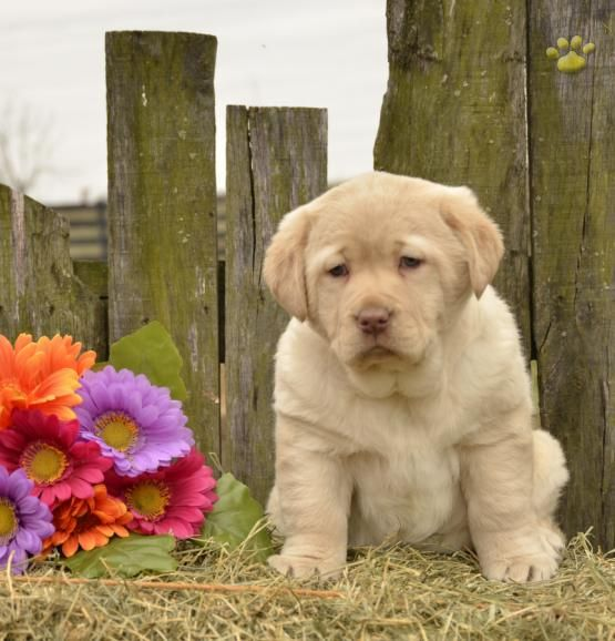 ♥Such A Sweetheart♥ #LabradorRetriever #Lab #Labrador #Retriever  #BuckeyePuppies #Puppies #Pups #Pup #Puppy #Funloving #Sweet #PuppyLove #Cute #Cuddly #ForTheLoveOfADog #MansBestFriend #dog #puppy #pets #animals #Dog #Pet #Pets #ChildrenFriendly #puppyandChildren #ChildandPuppy www.BuckeyePuppies.com