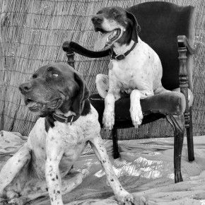 These two just make my heart smile :-) Golden Paw – George and Gracie | CA GSP Rescue