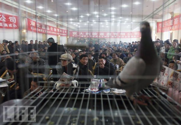 Pigeon Auction