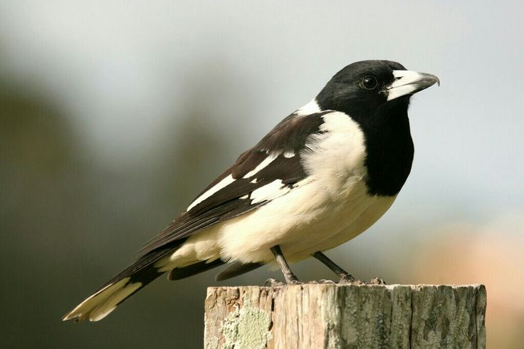 Pied Butcherbird.  Photographed by Lee Mason.