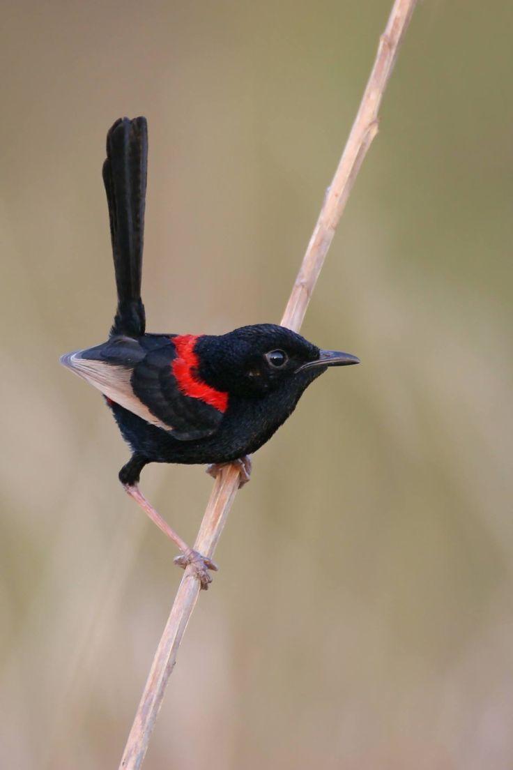 1263 best australian birds images on pinterest beautiful birds