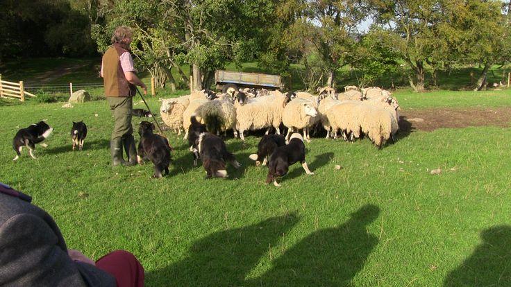 Sürüyü Kusursuz Yönlendiren Çoban Köpekleri