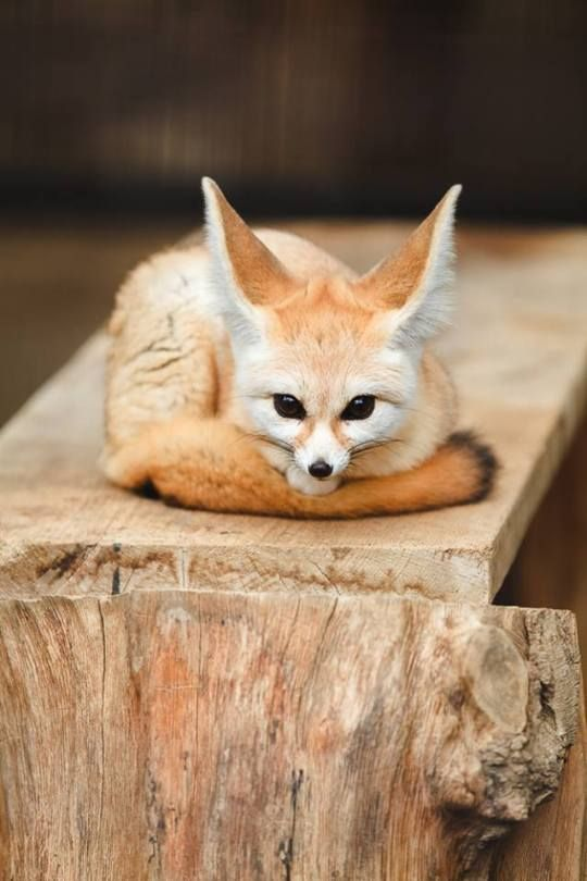 10 Best Fennec Fox Images On Pinterest Foxes Fennec Fox