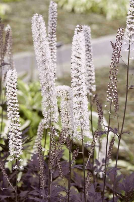hillside black beauty snakeroot actaea in the garden pinterest gardens beauty and black. Black Bedroom Furniture Sets. Home Design Ideas