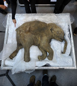 The carcass of the world's most well-preserved baby mammoth found by a reindeer herder in Russia.