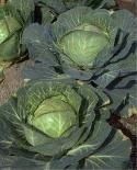 Freezing cabbage - if you love cabbage, grow a lot of it in your garden, or just want to   preserve it for later usage, here's the easiest way I've found to get the job done.