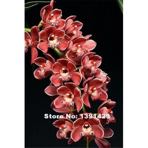 Orkidé mörkrosa