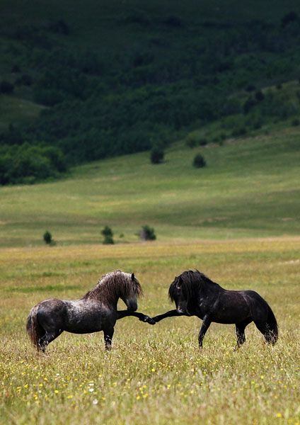 "(Wild horses sparring by Vedran Vidak Photography.) ""how do you do sir?""...""very well thank you sir...let the games begin!!"" ;o)"