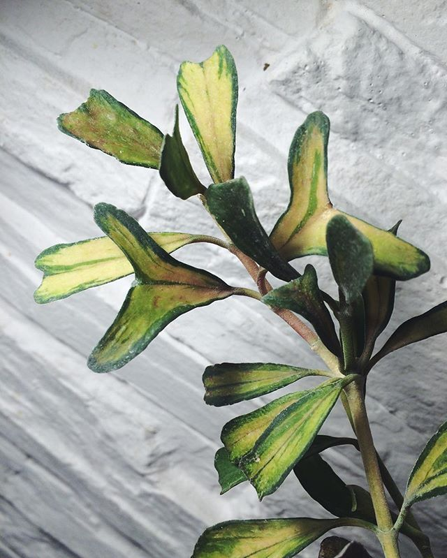 Hoya Manipurensis U0027Philou0027. HouseplantsVinesWax