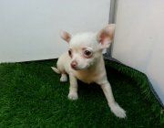 Cucciolo di Chihuahua a pelo corto. Dolcissimo, con due occhioni giganti!