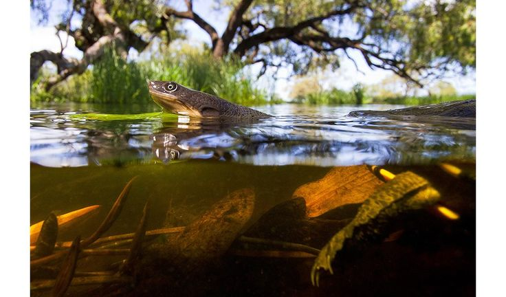Gallery: documenting the recovery of an iconic wetland - Macquarie Marshes - a turtle