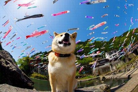 フォロワー80万人! 国内外で人気沸騰中の「柴犬まる」が可愛すぎる | マイナビニュース