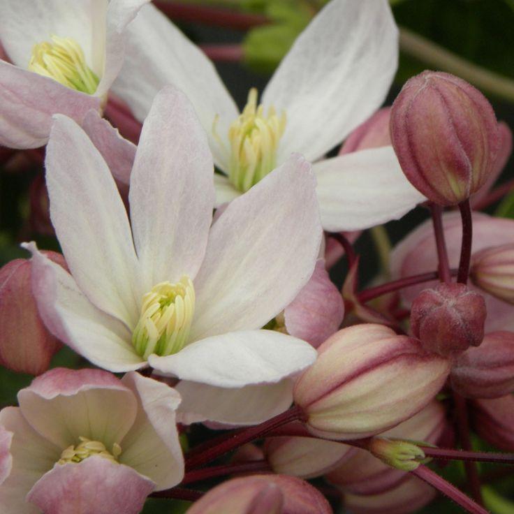 Clématite armandii rubra, ma préférée - feuillage persistant - fleuri en mar avril - odorante - une floraison exceptionnelle en bouquets de couleur rouge dégageant un parfum de fleur oranger et de vanille.
