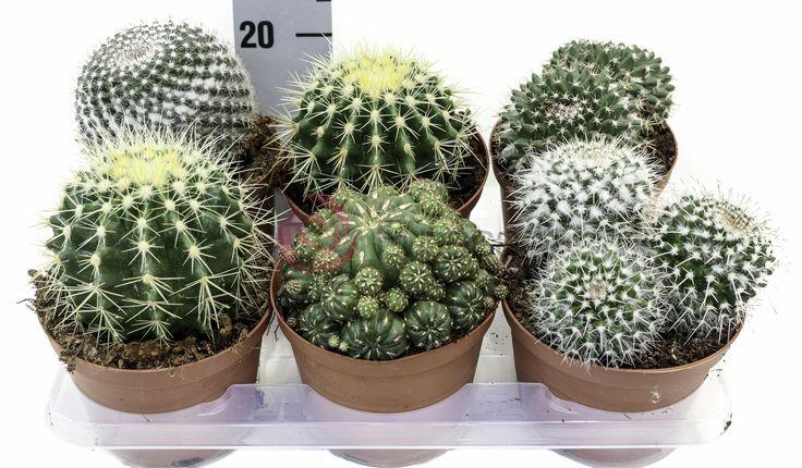 Cactus Mix POT14cm #Eurosa #ProducedThroughGreenTechnology