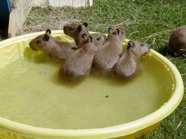 Baby capybaras! Mega d'aww!