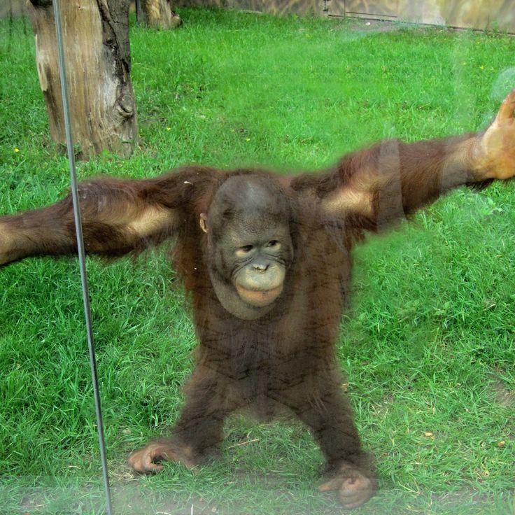 Funny orangutan - ZOO in Czech republic