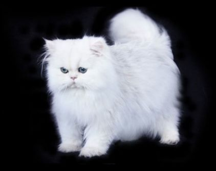 Isaac-white-chinchilla-silver-teacup-persian-cat-2