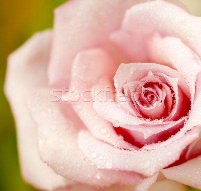 Beautiful fresh pink rose with morning dew, close-up on garden flower
