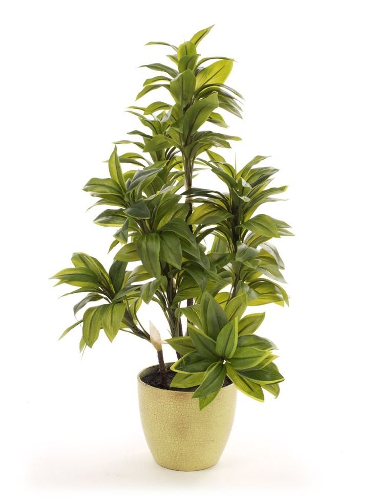 Closer To Nature 2ft Green Seven Stem Mini Dracaena Plant: Amazon.co.uk