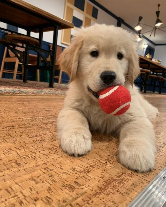 Boe Cute Dogs And Puppies Golden Retriever Funny Cats And