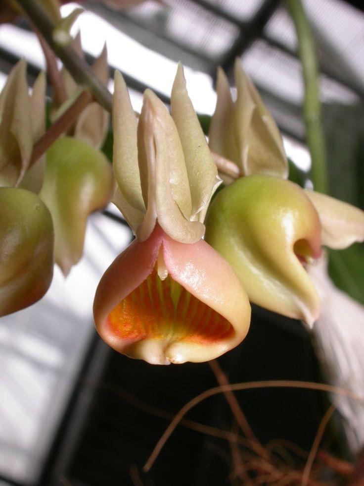 Catasetum fuchsii