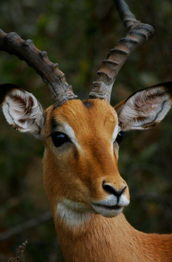 Impala by Michael Deeble