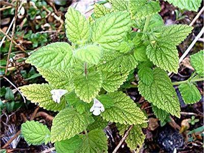 Une plante très efficace pour soigner la nervosité, l'anxiété, l'herpès, les troubles digestifs, équilibrer la thyroïde. Elle avait la réputation de rendre la jeunesse!