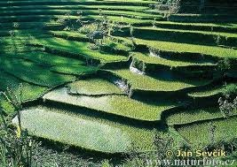 Rice Field - you will find this all over rural areas in Indonesia.