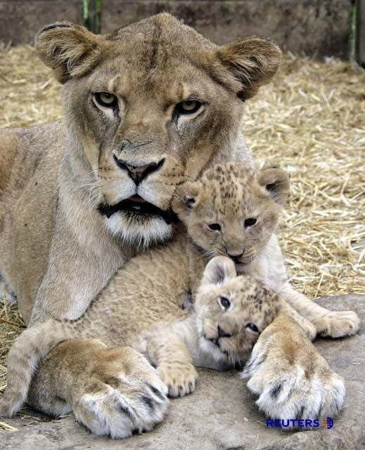 Family, omg so adorable!!!! Plllllease Discovery Channel, start showing more shows that reflect these incredible animals have families and feelings, not just killing machines that people disconnect from and have no problem hunting and killing them! Really do think that is why so many people go on hunting trips in Africa, etc.  There is NO connection to the animals at all. Discover Channel could help with that!!! #pets #cute #animals